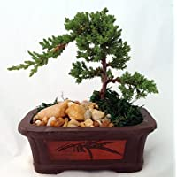 Japanese Juniper Bonsai Tree - Etched Brick Pot - Easy to Grow