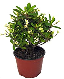 White Crown of Thorns - RARE - Euphorbia - 5\