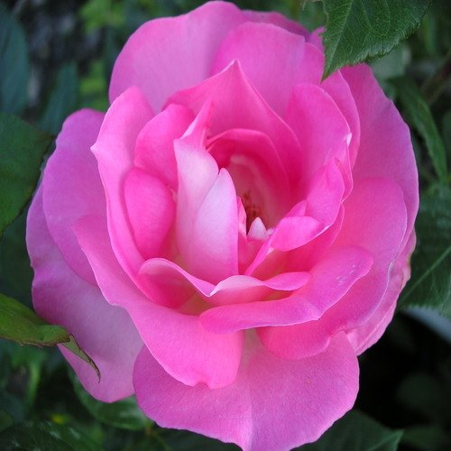 ROSE CLIFF RICHARD-Superb Birthday Gift/Plant
