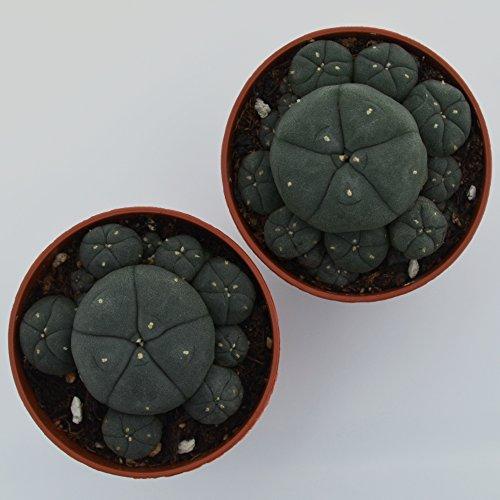 Lophophora williamsii caespitosa ab 5cm, 2 Stück