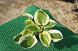 ホスタ ブリムカップ(斑入り ギボウシ) 日陰やワンポイントの植栽に最適♪