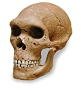 Neandertal W Mandible