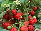 Hirts Evie Everbearing Strawberry Plants, 50 Plants Bareroot