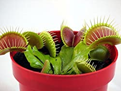 E Garden Venus Flytrap (Dionaea Muscipula) Carnivorous Plant Seeds 20 Seeds