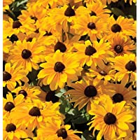 Flower Rudbeckia (Black-Eyed Susan) Tiger Eye Gold D1764 (Yellow) 20 Seeds by David's Garden Seeds