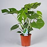 Swiss Cheese Plant (Monstera Deliciosa) in 17cm pot. 65cm tall approx.