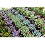 80 Lovely SUCCULENTS for WEDDING PARTY FAVORS