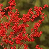 'Berry Poppins' Winterberry Holly - Ilex - Broadleaf Evergreen - 4