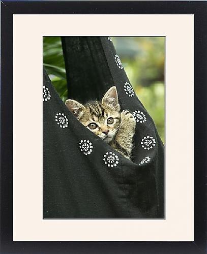 Framed Print Of European Brown Tabby Cat - Kitten In Carrier