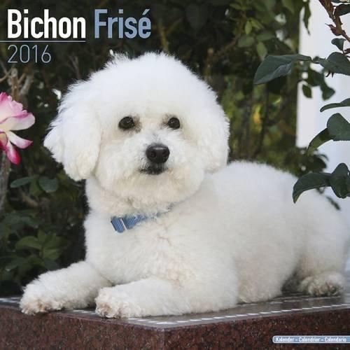 Bichon Frise Calendar 2016 (Square)