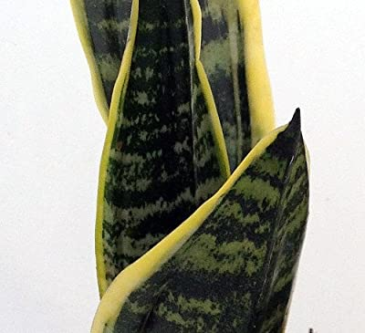 "Hirt's Superba Robusta Snake Plant - Sanseveria - Impossible to kill! - 4"" Pot from Hirt's"
