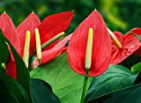 Anthurium Flower Seeds by National Gardens