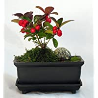 Wintergreen Bonsai with Edible Berries - Teaberry - Gaultheria -Aromatic Leaves