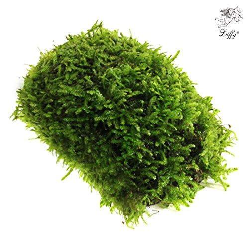 luffy-coco-mini-moss-hardy-plant-provides-aquariums-with-oxygen-for-java-fish-exo-shrimp-moss-fern-t