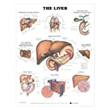 The Liver Anatomical Chart Laminated