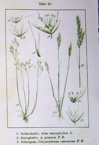 blumen-sturms-zwerghafer-1900-canescens-apera-spica