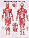 The Muscular System Anatomical Chart Company