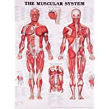 The Muscular Systemby Anatomical Chart Company
