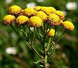 TANACETO 1.000 SEMI Tanacetum Vulgare giardino ORTO BIOLOGICO pianta aromatica