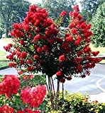 Dynamite Red Crape Myrtle (1-2 feet tall in trade gallon containers) Flashy red summer blooms!