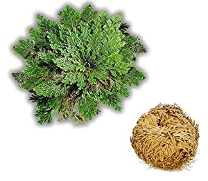 rosa de jerico rose of jericho resurrection plant con la oracion prayer included. Black Bedroom Furniture Sets. Home Design Ideas