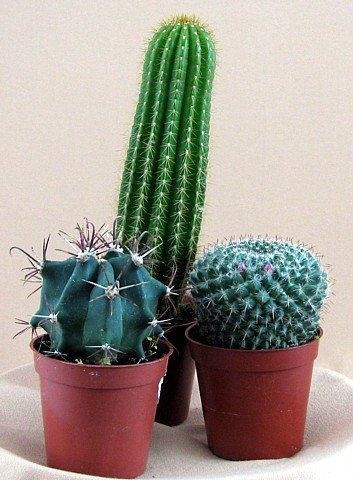 Buy Instant Cactus Collection-3 Different Plants 3.25″ pots