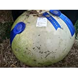 *THICK*GIANT AFRICAN BUSHEL GOURD* 7 SEEDS*rare*KIDS#1180*