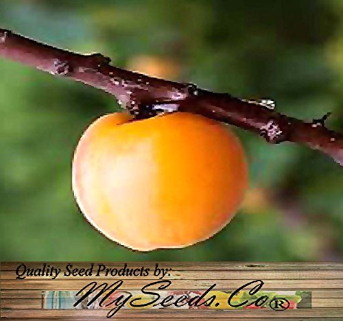5 Manchurian Apricot Tree Seeds Prunus armeniaca ~ FRAGRANT PINK FLOWERS ~