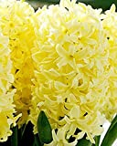 Yellow Queen Hyacinth Bulb and Glass Vase for Forcing