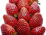 フルーツなかやま 栃木県産 とちおとめ 七ツ石 職人会 いちご 糖度12度以上の高品質 4パック入