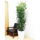 シルクジャスミン ゲッキツ 観葉植物 10号 大鉢 観葉植物 インテリア 大型 オシャレ 大きい 尺鉢