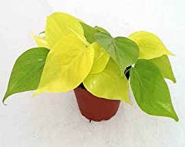Lemon-Lime Vining Philodendron - Easy to Grow - 4
