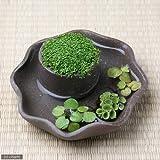 (水草)私の小さなアクアリウム ~わびさび益子焼 焼締 丸 小のキューバパールグラスと浮き草のセット受皿付~ 本州・四国限定[生体]