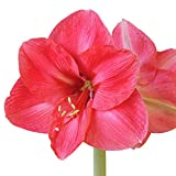 Bolero Amaryllis Bulb - Rose Amaryllis (Tamaño: Repeller 294)