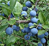 1X 3-4FT SLOE BERRY BUSH - FRUIT PLANT - MAKE YOUR OWN SLOE GIN - 2L POTTED
