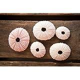 Hinterland Trading Pink Sea Urchins - 5 ea