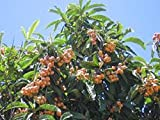 4 Live Loquat/Japanese Plum Trees with Pots and Growing Instructions