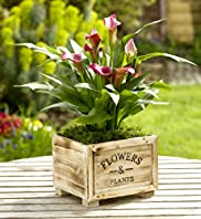 Calla Lily in Wooden Box