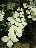 ヤマボウシ ミルキーウェイ 小単幹苗 庭木 落葉樹 シンボルツリー