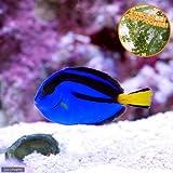 (海水魚)バリ産 ナンヨウハギ Mサイズ(1匹) エサ用ウミブドウ50g付き 本州・四国限定[生体]