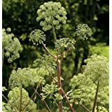 David's Garden Seeds Herb Angelica D901A (Green) 200 Organic Seeds