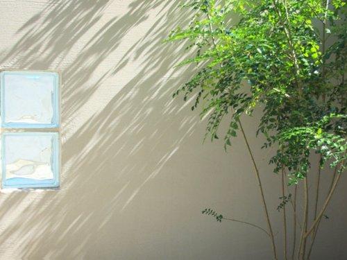 【6か月枯れ保証】【生垣樹木】シマトネリコ単木 0.3m