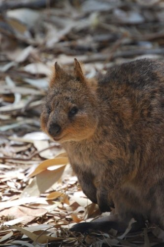 A Foraging Quokka, For the Love of Australia: Blank 150 page lined journal for your thoughts, ideas, and inspiration