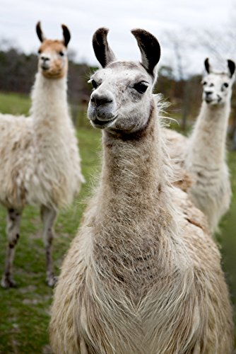 Llamas (9x12 Art Print, Wall Decor Travel Poster)