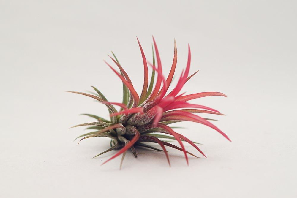 Red Ionantha Fuego