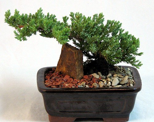 Hirt's Japanese Juniper Bonsai Tree + Ornamental Rock & Stone