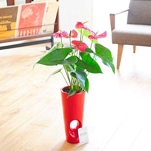 観葉植物 アンスリウム・ダコタ 6号 ※穴あき赤丸陶器鉢 < 開店祝い 新築祝い 移転祝い 誕生日のフラワーギフトに >