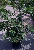 Nippon Orangequat Tree -- 12 by 12 Inch Container