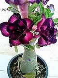 2個/袋砂漠は家庭菜園100%真正種子の種アデニウムobesum種子盆栽フラワー種子ダブル花びら鉢??植えローズ
