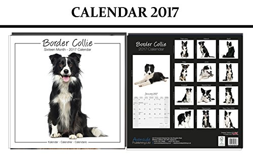 border-collie-studio-dogs-calendario-2017